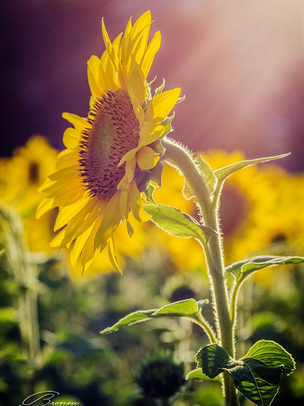 Sunflowers Blossom.
