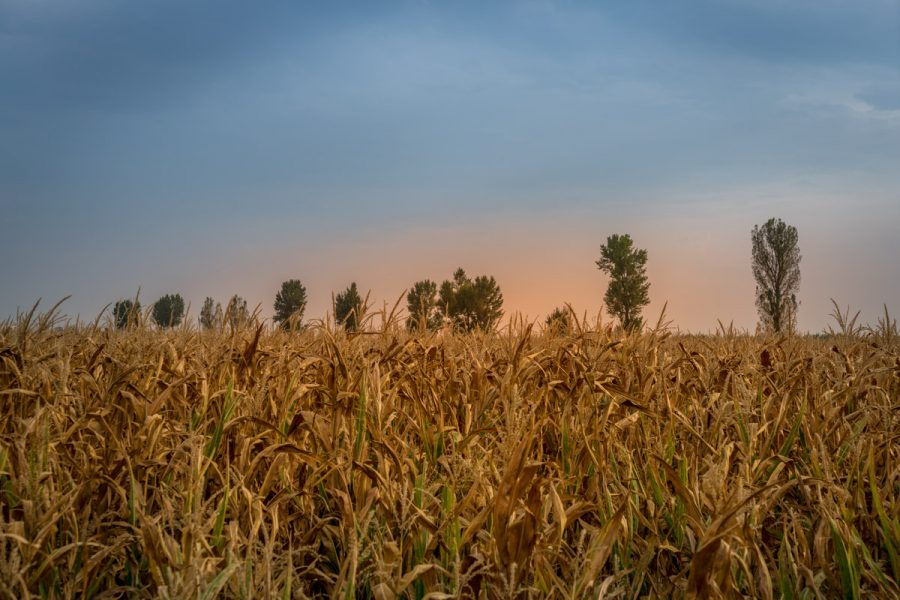 Vast Fields of Corn