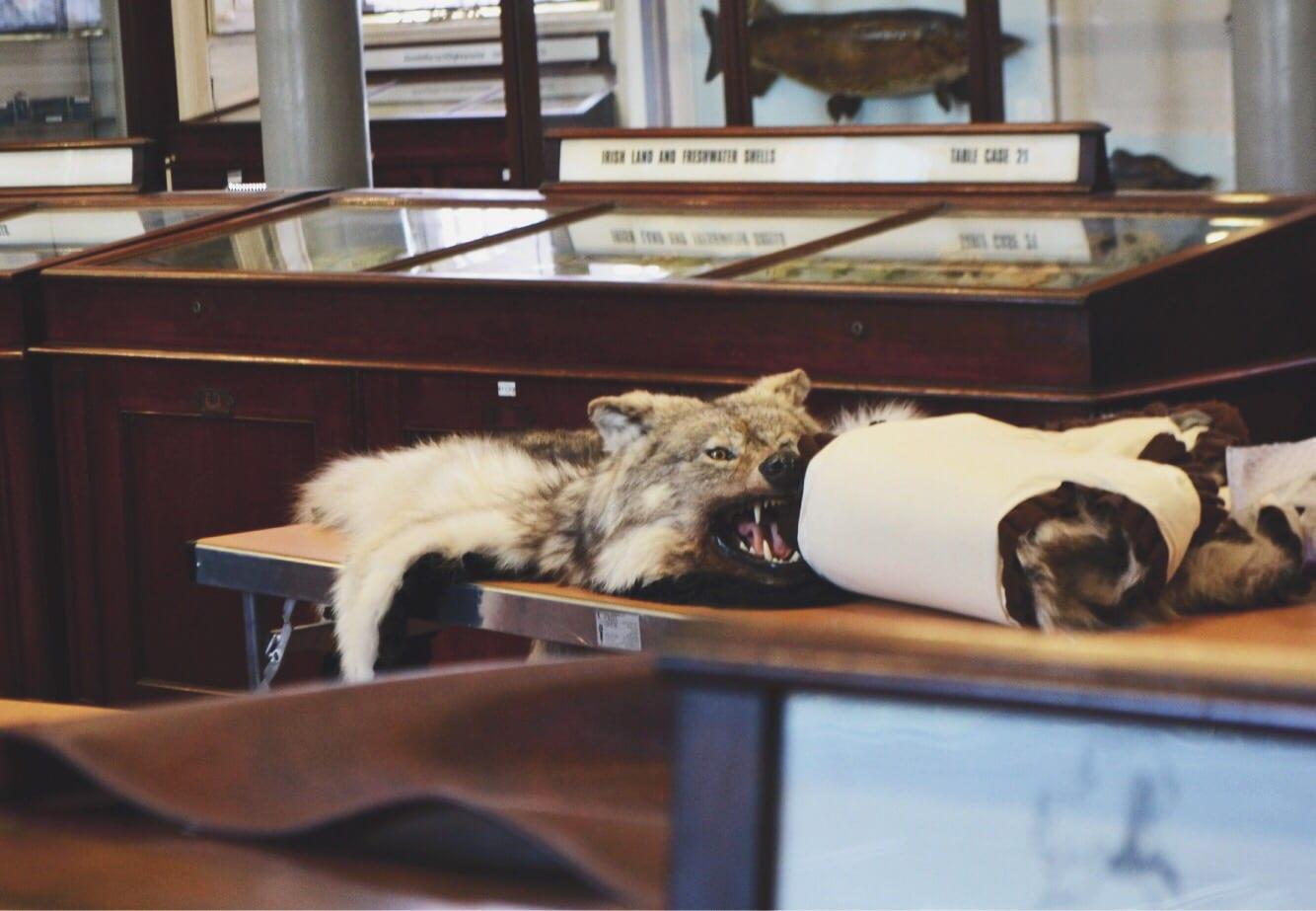 wolf pelt natural history museum