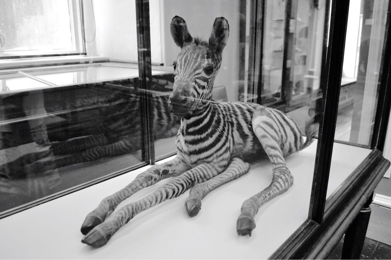 natural history museum dublin zebra