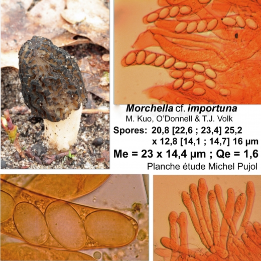morchella-cf-importuna-MP2.jpg