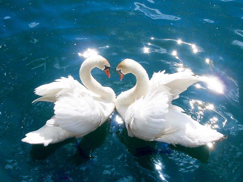 Hewan Paling Setia Pada Pasangan