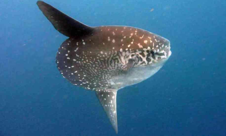 Mola Sunfish
