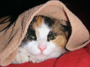 """""""Cat Under a Towel"""" image by Aline Dassel, royalty-free image from freeimages.com"""