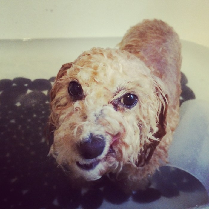 Teyah the peach poodle looking like a half-drowned rat after a bath