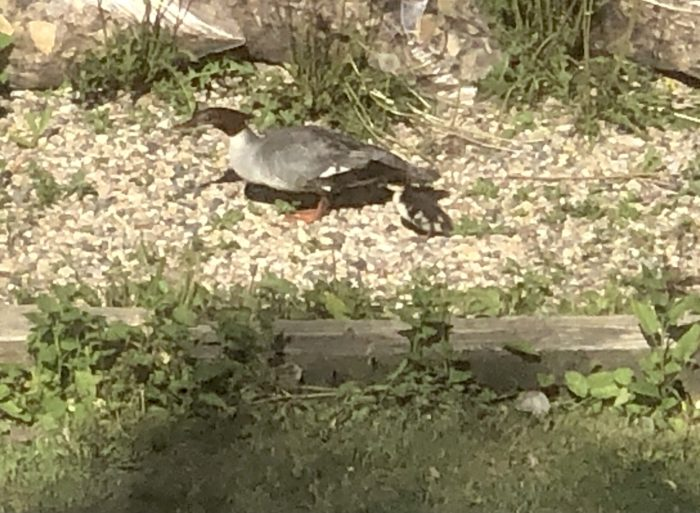 Photograph of a mother merganser duck and her duckling walking on the path in the back yard.