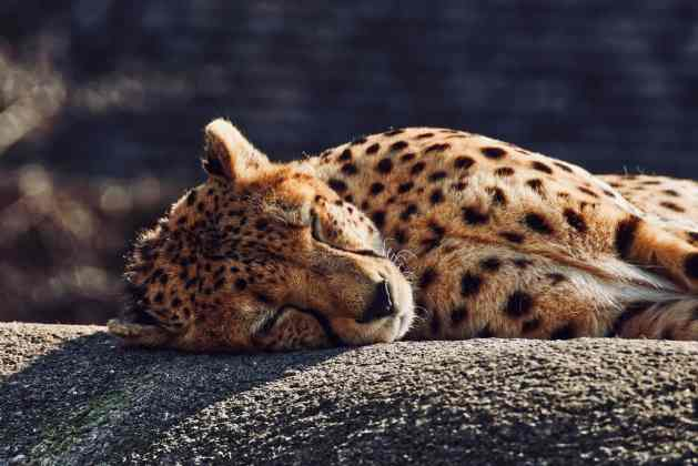cheetah lying on gray concrete floor