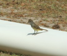 Crested Flycatcher CHW-1