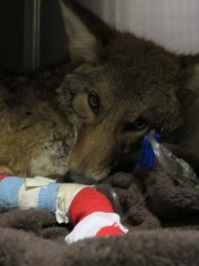 WL coyote getting treatment