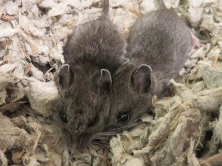 WL mice