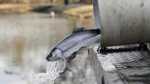 Rainbow Trout Pond Stocking | Central Arkansas Now