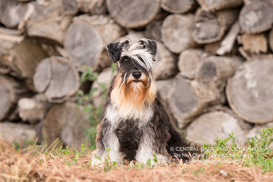 Schnauzer dog in vineyard poses for traveling dog photographer