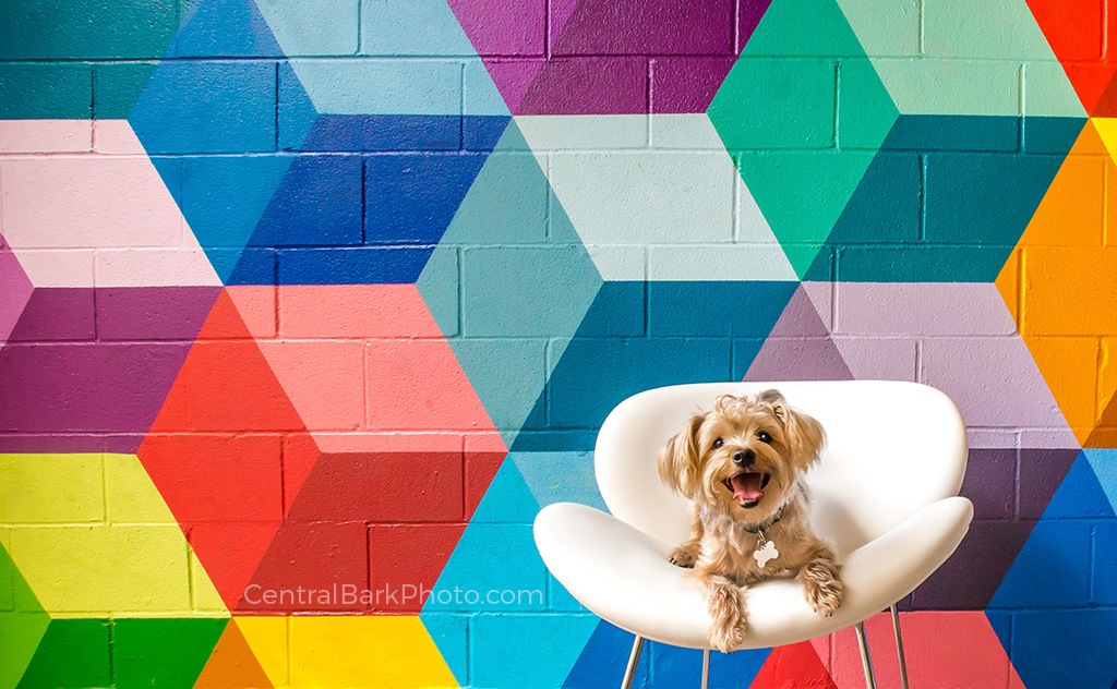 yorkie dog in white chair by graffiti wall