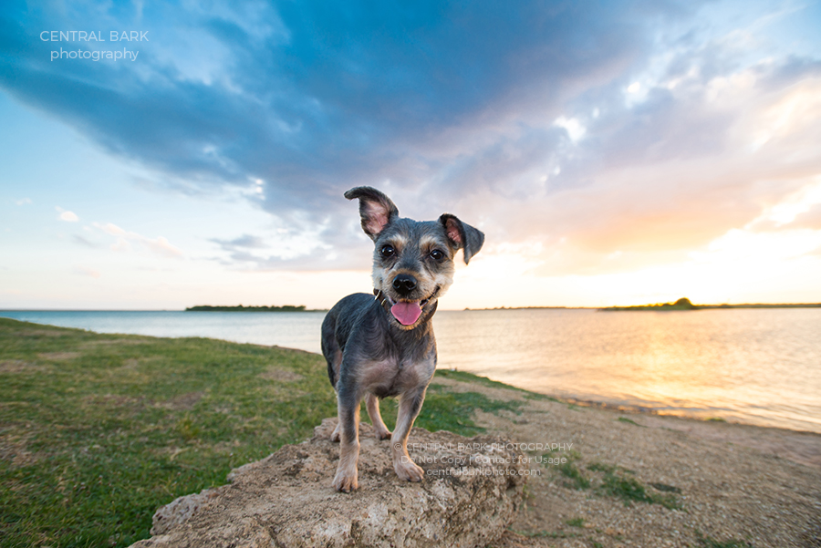 yorkiepoo on rock at lake smiling for dallas dog photographer