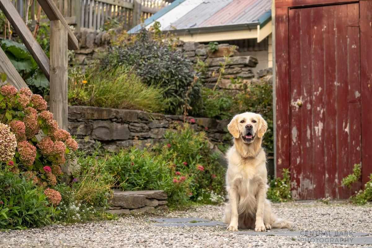 golden retriever in garden