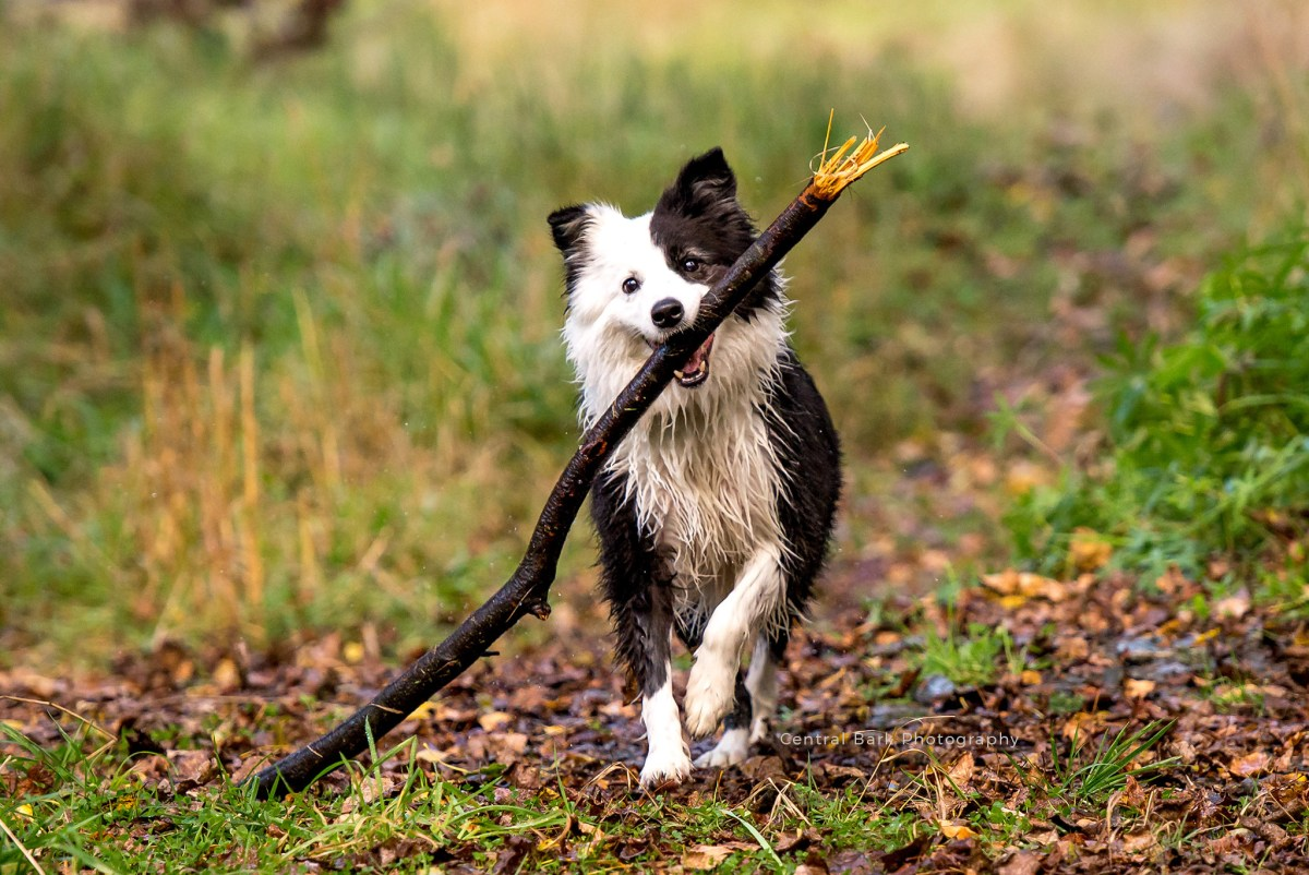 border collie dog with large stick