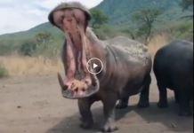 Hipopótamo com a boca aberta