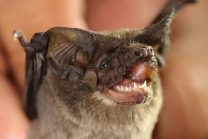 Mexican Free-tailed Bat. Photo: James N Stuart, used graciously with artist's permission.