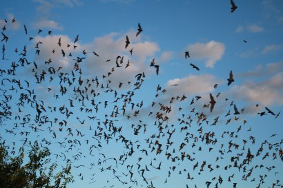 Mexican free-tailed bats exiting Bracken Cave. Photo by U.S. Fish and Wildlife Service Headquarters