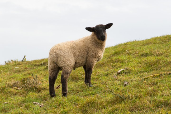 Sheep with black face and legs on a hillside