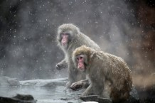 FreeGreatPicture.com-40208-snow-monkeys-at-the-central-park-zoo-in-nyc