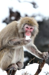 snow+monkeys+Central+Park+Zoo+endure+snowstorm+x8U4ry8XhDFl