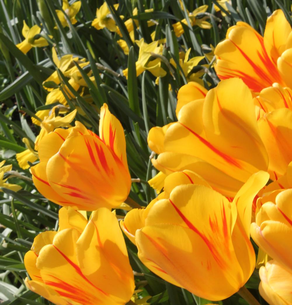 Primavera Flores En Y Alrededor De Long Island, Nueva York - Plant Want Me