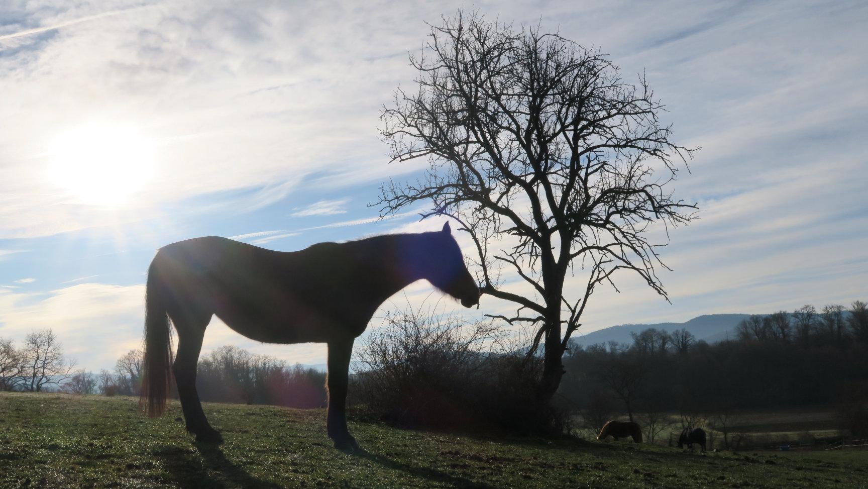 Les chevaux au pré, au petit matin ...