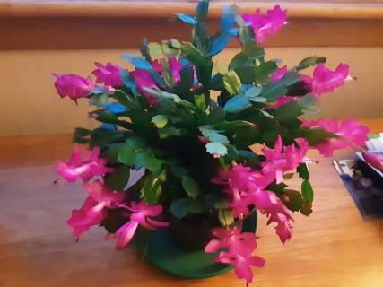 Helen Montgomery - Christmas Cactus