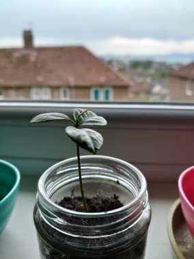 Jenni Kelly - Apple Seed Plant