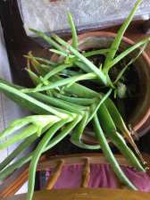 Phurpha Tsumu Lama Dhangsong - Indoor Plant 8