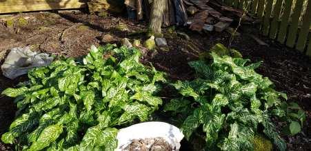 Phurpha Tsumu Lama Dhangsong - Outdoor Plant 1