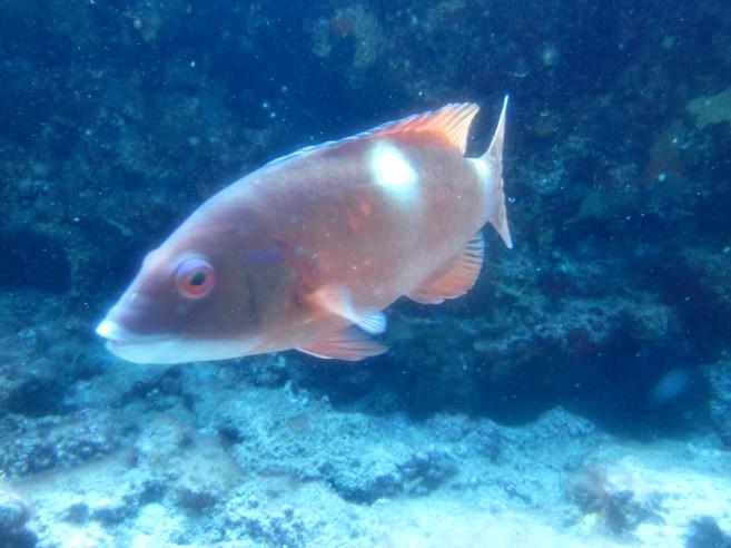 Foxfish