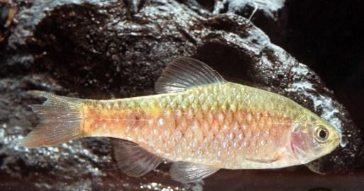 Puntius conchonius (David Morgan)