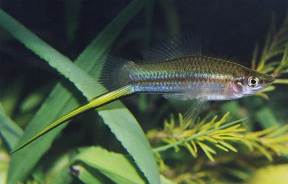 Xiphophorus hellerii (David Morgan)