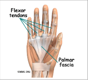 flexor tendons