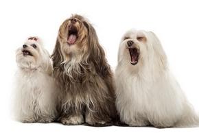 Group of Maltese dogs, yawning, sitting in a row, isolated on white