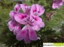 Flor de Pelargonium