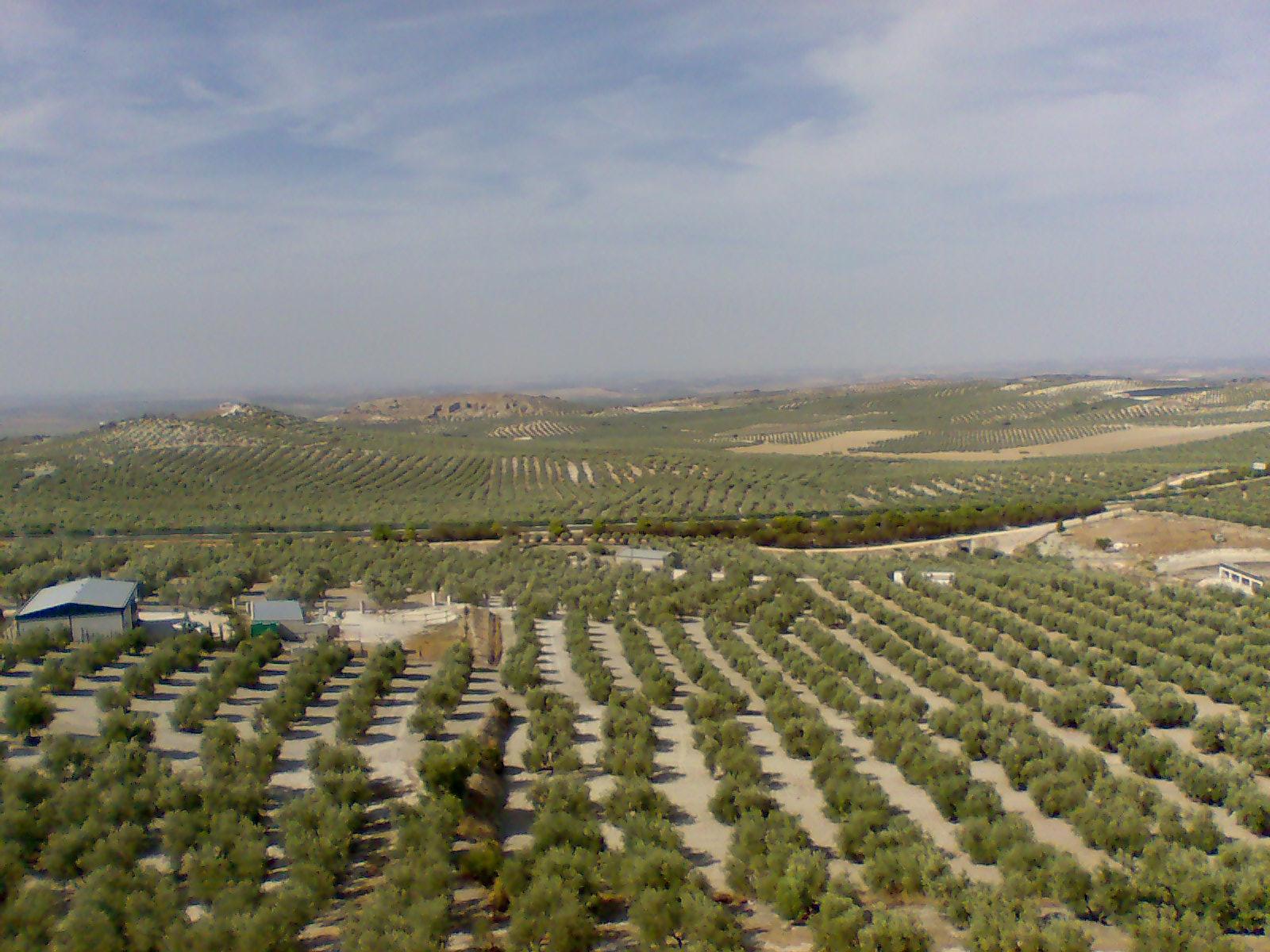 Olivos de variedad Picual