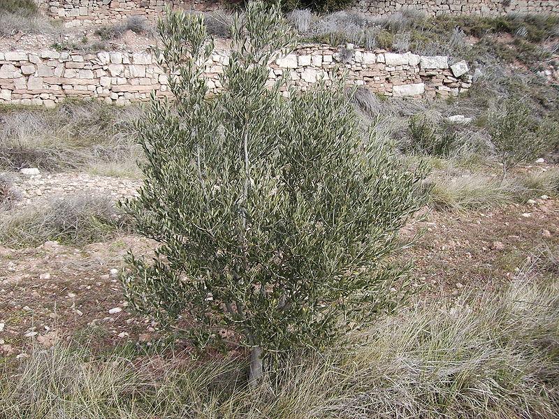 Arbequina, una variedad en expansión