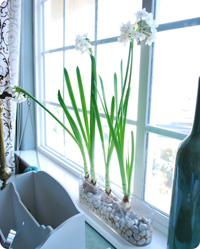 blooming paperwhites