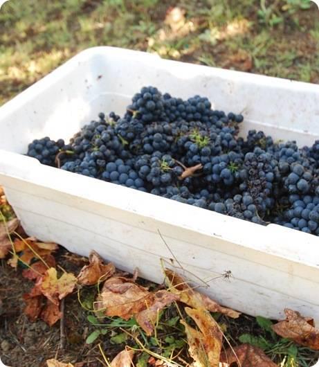 grapes in bin