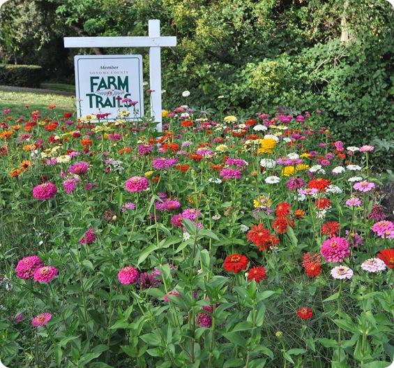 farm trails zinnias