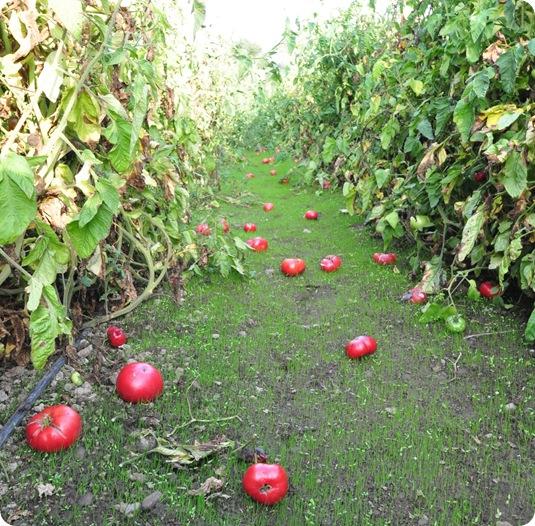 rows tomato vines