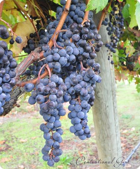 wine grapes cg