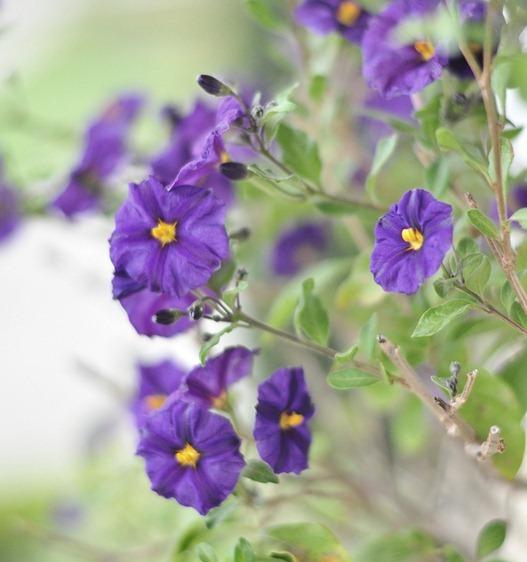 blue potato bush