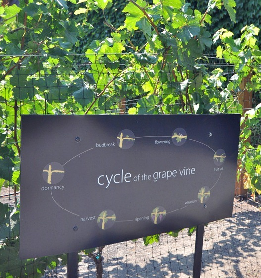 cycle of the grape vine