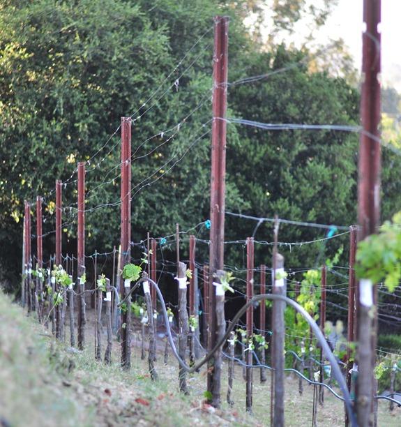 grafts forming on vine