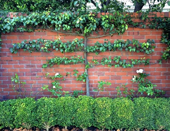 espalier-tree-san-francisco