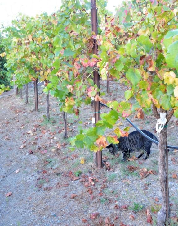 pinot noir grapevines